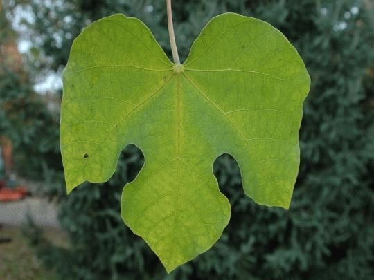 一张梧桐树的叶子图片