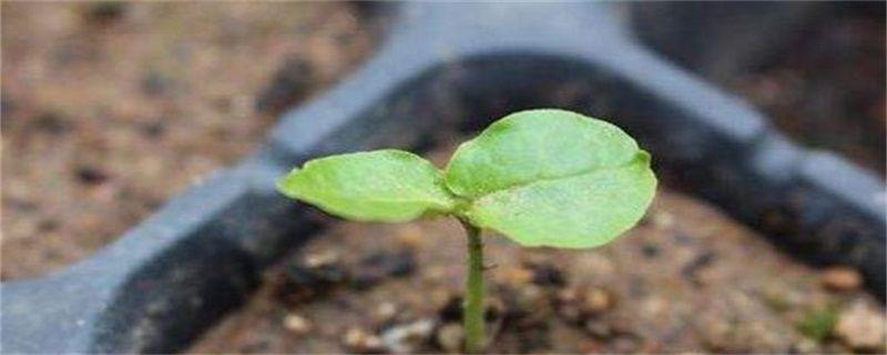 三角梅的种植方法:种子种植、扦插种植
