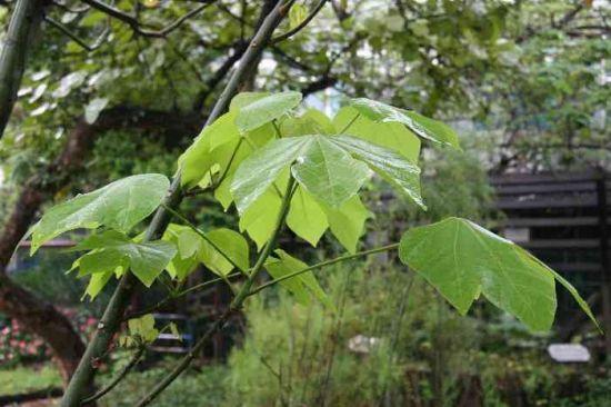 梧桐树长新叶图片