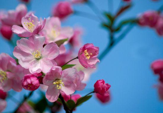 鲜艳的海棠花