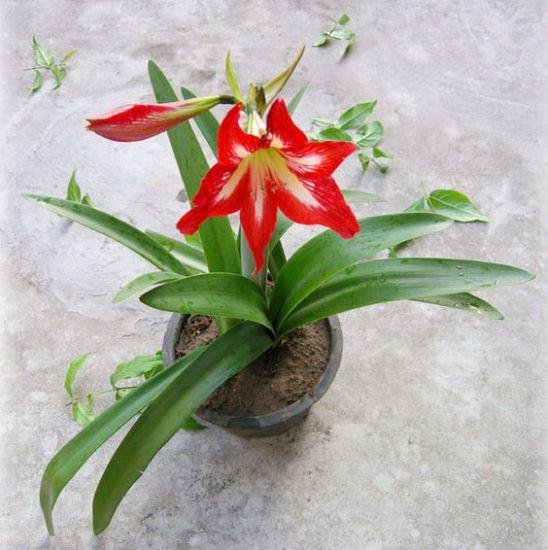 朱顶红盆栽