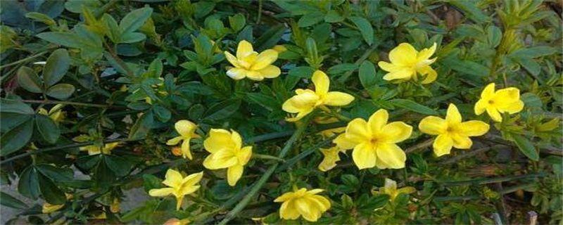 <b>迎春花的养殖方法和注意事项</b>