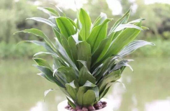 密叶朱蕉/太阳神的种植方法