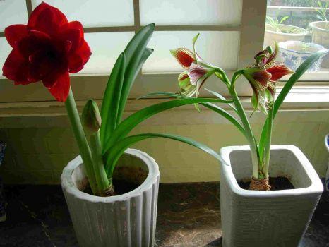 窗台养殖的朱顶红开花了