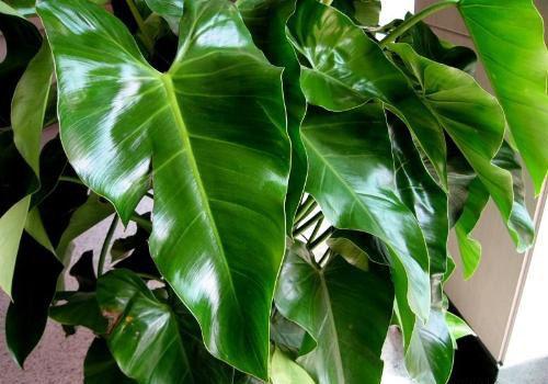 长心叶蔓绿绒