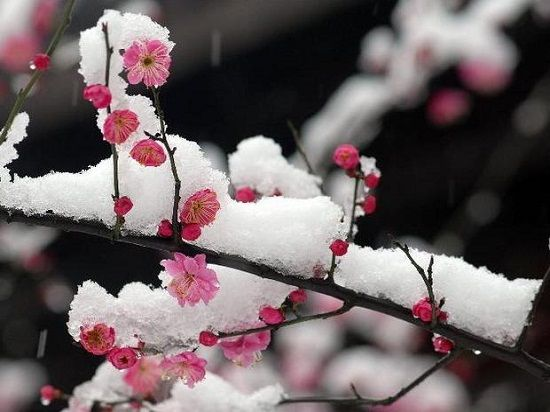梅花入冬前怎样养护:加强水肥管理、适当的修