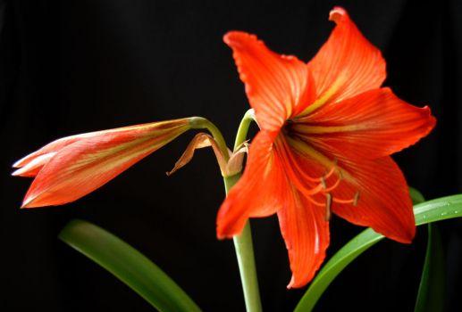 美艳的朱顶红花