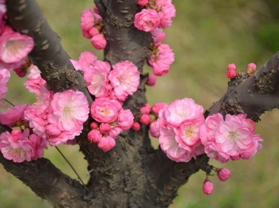 灿烂的梅花图片