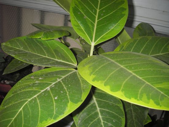 橡皮树叶子发黄的原因分析和处理方法