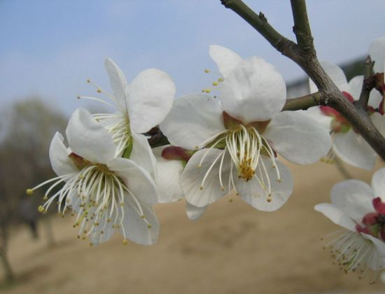 公园里拍到的梅花图片