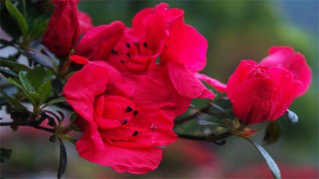 杜鹃花是什么颜色?六种常见杜鹃花图片赏析