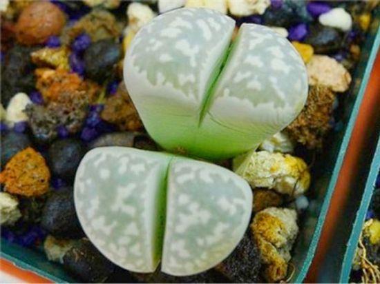 双眸玉——L. geyeri {lj}quot;hillii{lj}quot; 'Jenny's White Pearl'