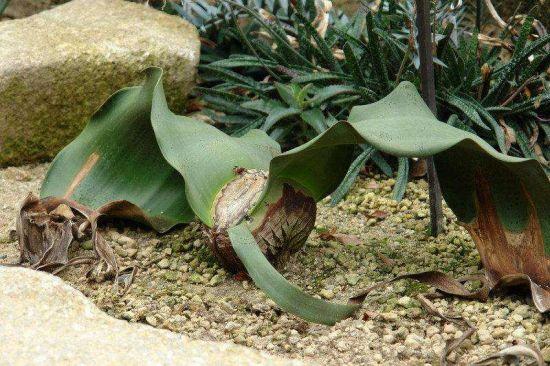 与恐龙同时代的植物活化石百岁兰