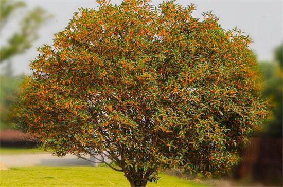 桂花树不开花的原因和解决措施