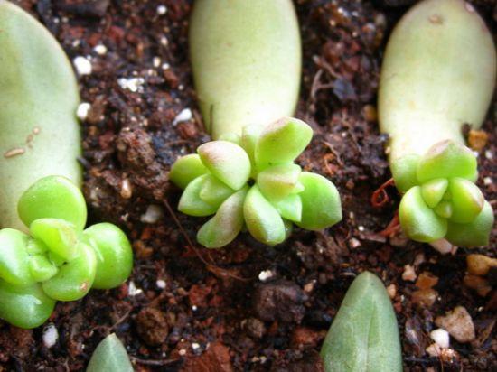 多肉植物叶插繁殖