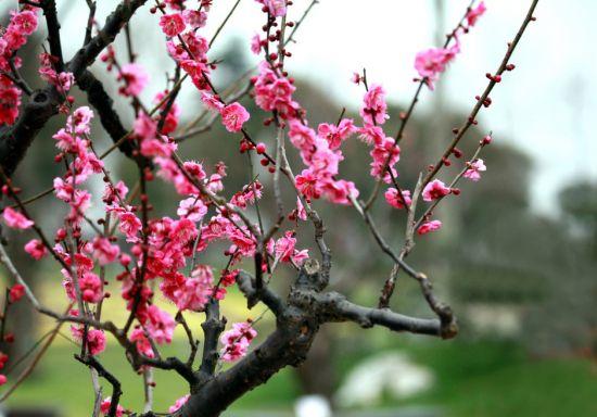 造型优美的梅花
