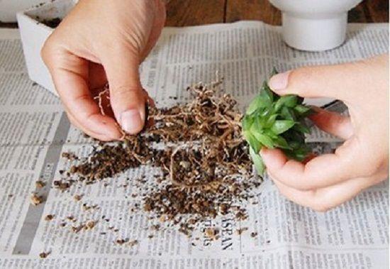 多肉植物分株繁殖