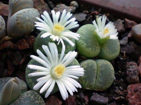 生石花、棒叶花怎样养护