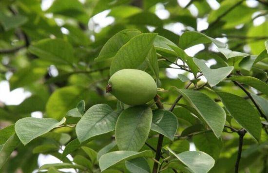 木瓜海棠果实