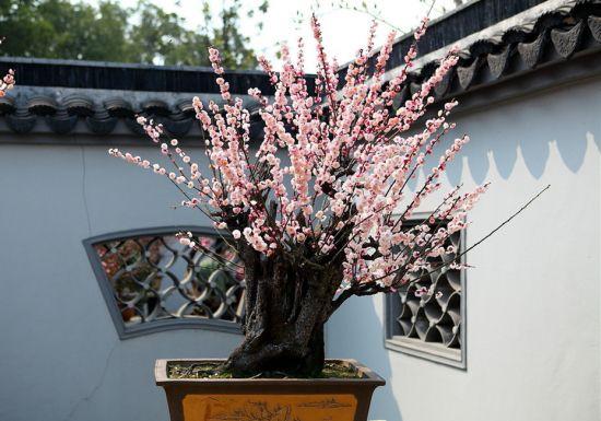 梅花盆栽養護需注意些什么