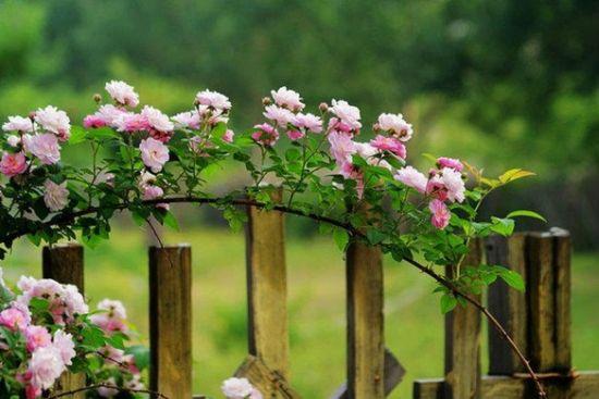 藤本月季的种植方法与注意事项