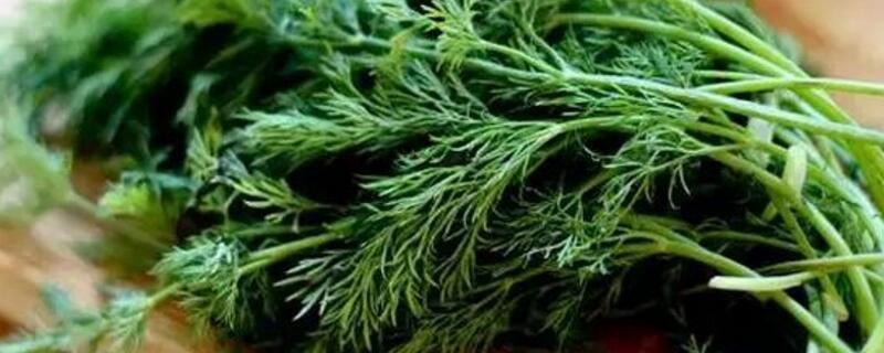 莳萝和茴香的区别图片图片