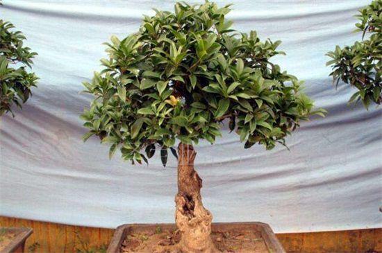 6公分桂花树是几年苗?6公分是3~4年的苗