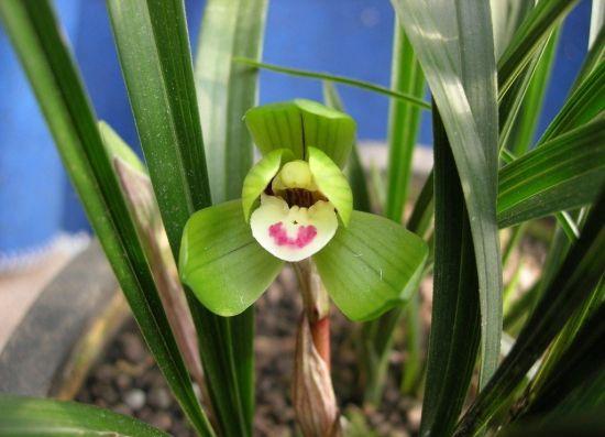 哪些兰花品种适于家庭养护