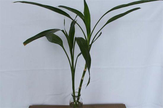 富贵竹叶子发干带斑点图片