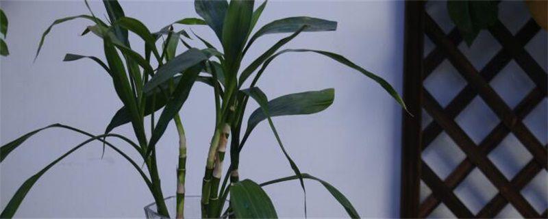 富贵竹叶子长斑怎么办?五种方法解决