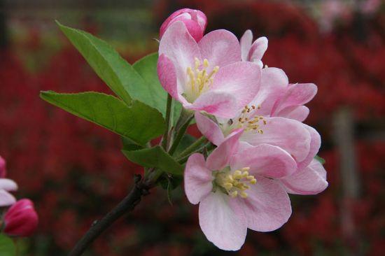 美丽的海棠