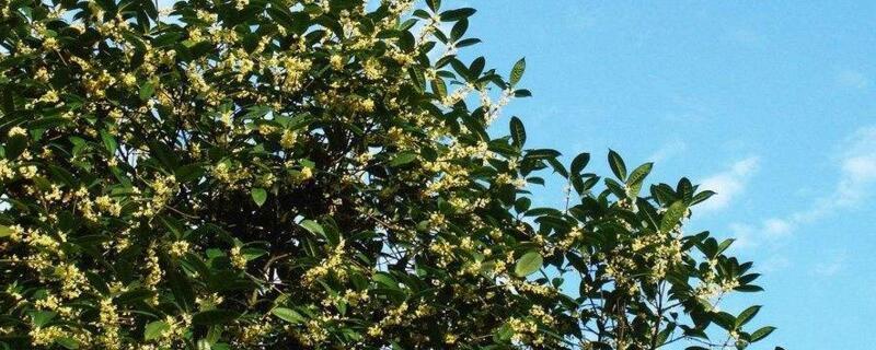 <b>桂花树怎么嫁接?桂花树4种嫁接方法</b>