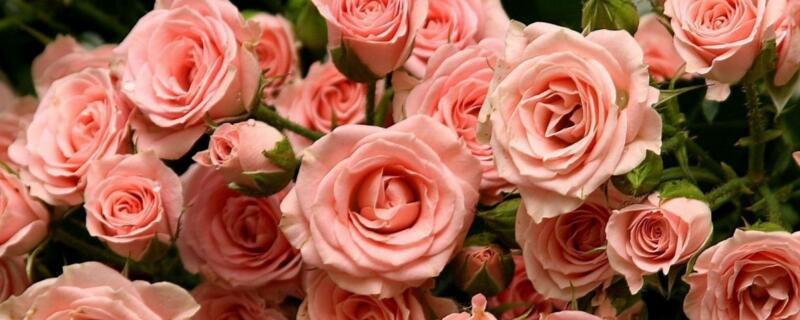 玫瑰花是什么时候开的?玫瑰花是5月份开