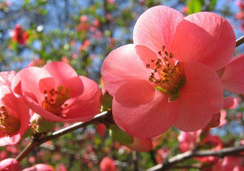 好看的海棠花