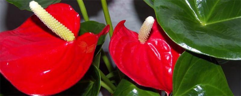 红掌花叶子发软怎么办