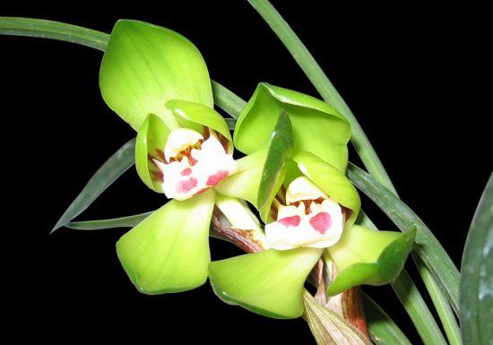 中国兰花的地生兰有哪些种类