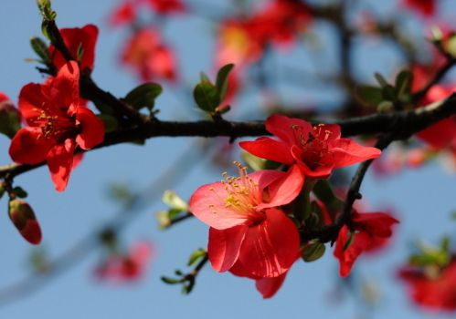 娇艳的海棠花