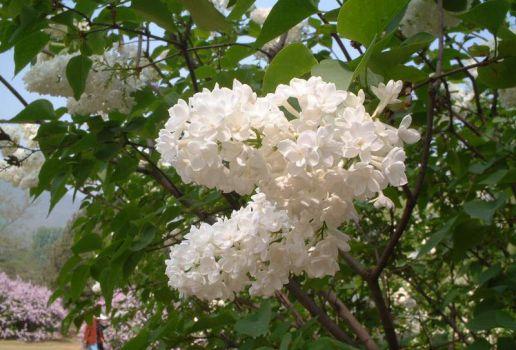 公园里种植的丁香花