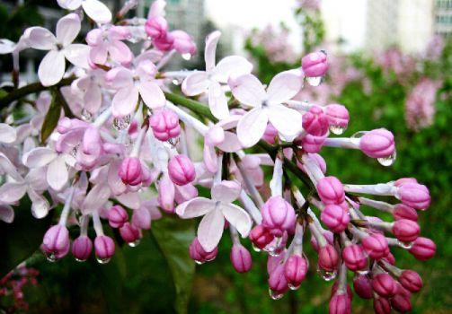 漂亮的丁香花