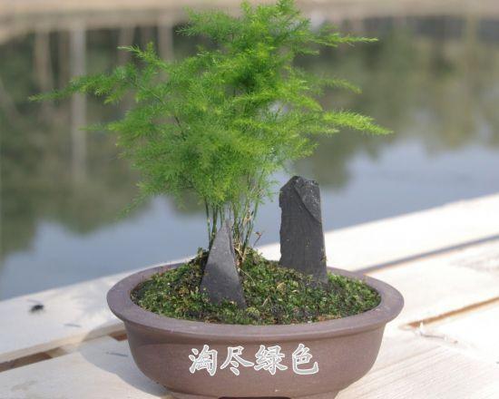 叶子最小的植物-文竹