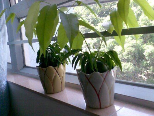 窗台上两盆元宝树图片