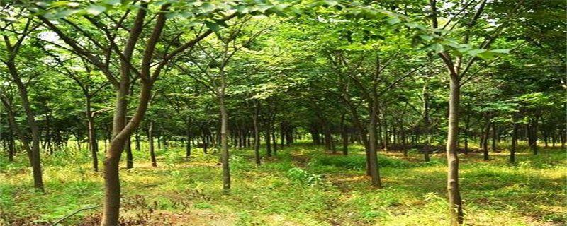 <b>榉树的养殖方法及注意事项</b>