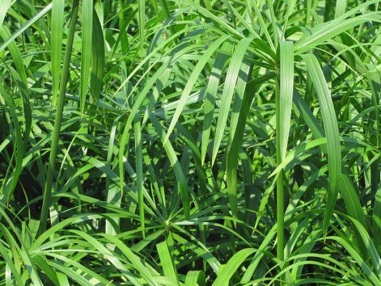 油绿的旱伞草