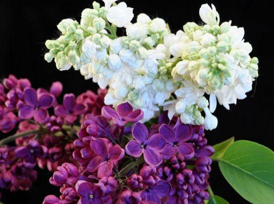 丁香花有多少种颜色