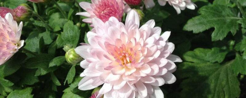 菊花有哪些品种?盘点菊花品种分类大全
