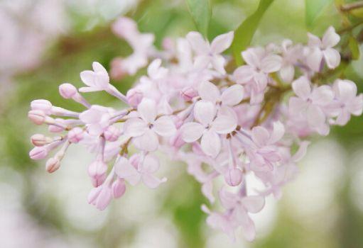 粉红的丁香花