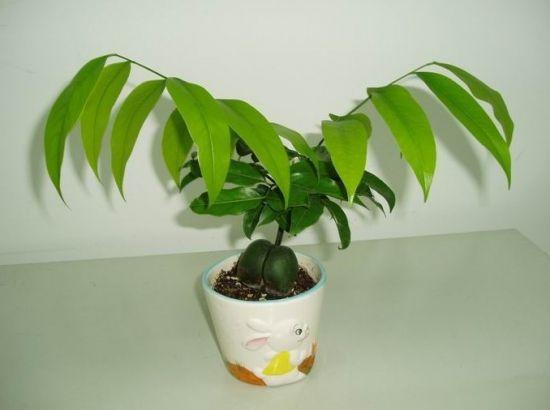 元宝树长了新枝叶图片