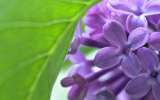 丁香花蓝紫色
