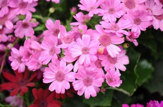 春天怎么养富贵菊/瓜叶菊