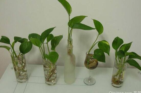 绿萝水培根茎怎么剪切,3种剪切方法让绿萝长的更健康